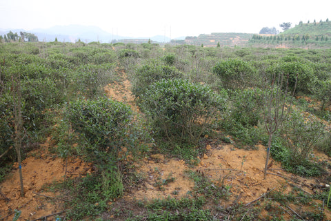 Old Tieguanyin bushes