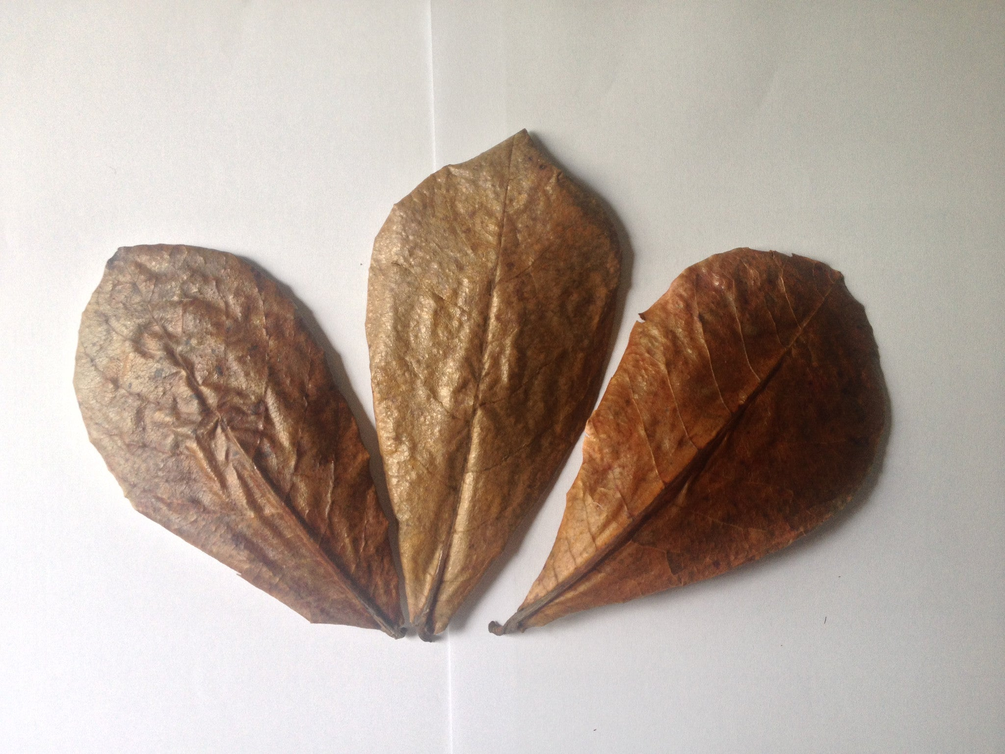 CATAPPA (INDIAN ALMOND) LEAVES