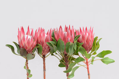 All About King Protea