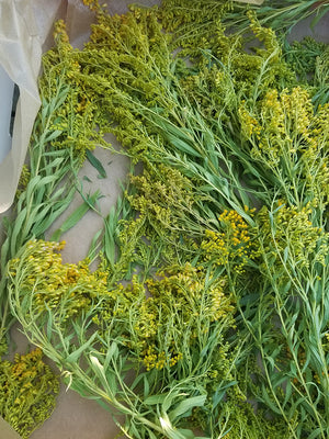 Goldenrod tea wild harvested from spokane Washington state in 37 g 1.3 oz box outdoors by Earthwise Beauty