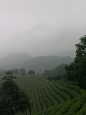 Green tea, Dragon's Well from Hangzhou countryside, Zhejiang China