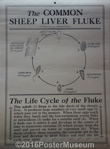 The common sheep liver flukes