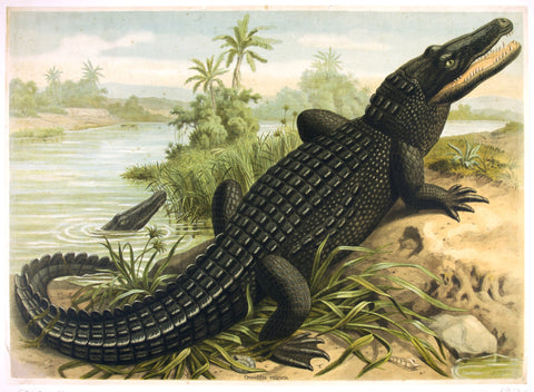 Crocodilus Vulgaris