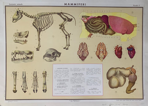 Anatomia Animale Poster