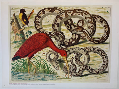 Scarlet Ibis and Snakes by Abertus Seba