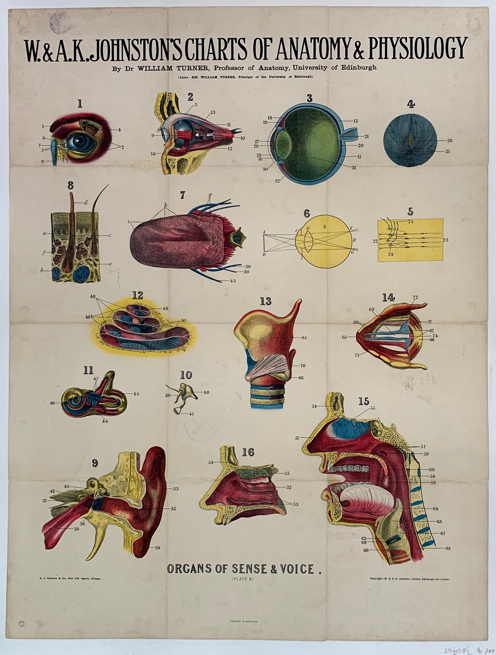 "W. & A.K. Johnston's Charts of Anatomy & Physiology ""Organs of Sense & Voice"""