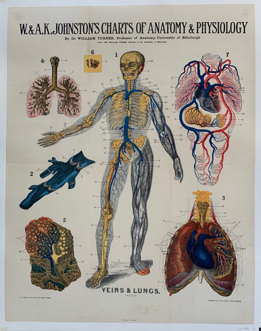 "W. & A.K. Johnston's Charts of Anatomy & Physiology ""Veins and Lungs"""