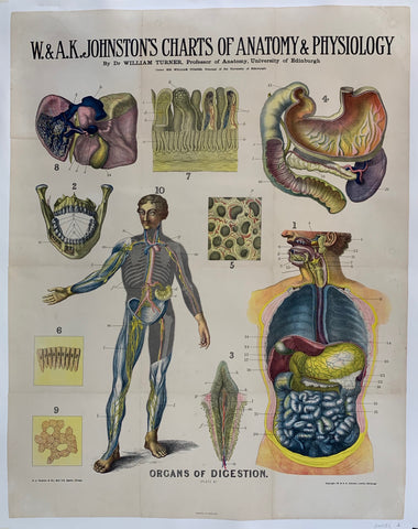 Anatomy Organs of Digestion