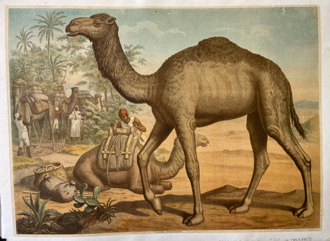 Camels in the Desert Print