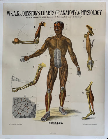 "W. & A.K. Johnston's Charts of Anatomy & Physiology ""Muscles"""