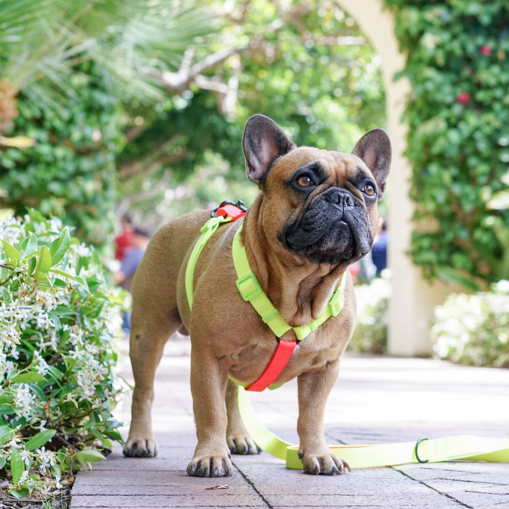 frenchie bulldog harnesses collars leashes more. Black Bedroom Furniture Sets. Home Design Ideas