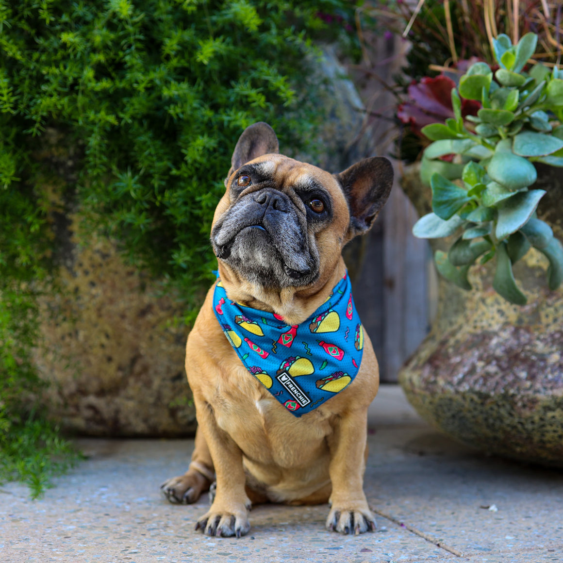 Frenchie Cooling Bandana - Taco - Frenchie Bulldog - Shop Harnesses for French Bulldogs - Shop French Bulldog Harness - Harnesses for Pugs