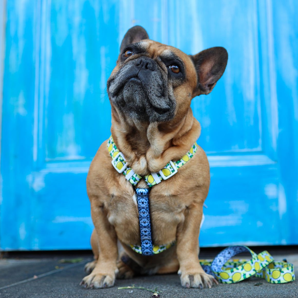 Frenchie Strap Harness - Lemons