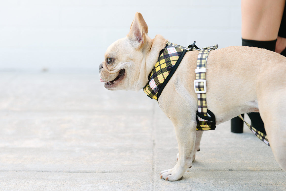 Frenchie Duo Reversible Harness - Get A Clue - Frenchie Bulldog - Shop Harnesses for French Bulldogs - Shop French Bulldog Harness - Harnesses for Pugs