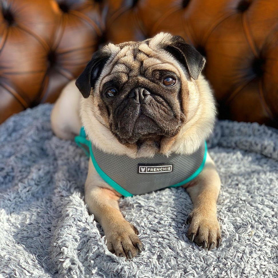 Frenchie Duo Reversible Harness - Teal/Grey - Frenchie Bulldog - Shop Harnesses for French Bulldogs - Shop French Bulldog Harness - Harnesses for Pugs