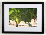 'Coyote grapes' - Original Wine Art - California Vineyard Photography, framed