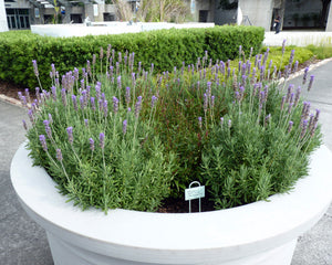 Can Lavender plants be grown in pots?