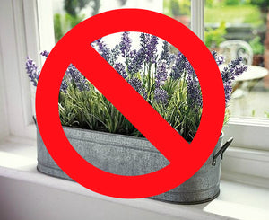 Can Lavender be Grown Indoors?