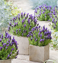 Do lavender plants like coffee grounds?