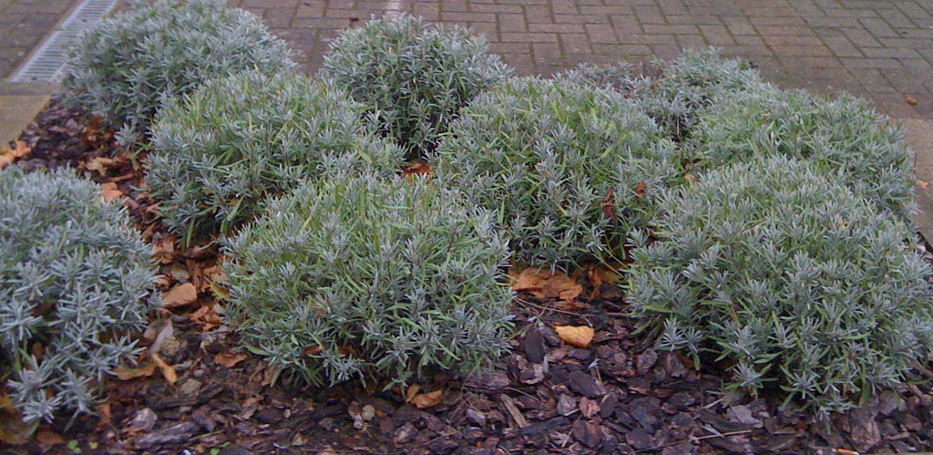 Can lavender plants tolerate frosty weather?