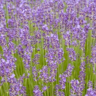 Angustifolia Munstead - Wholesale Quantities