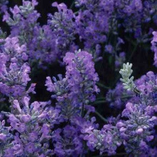 Angustifolia Little Lady - Wholesale Quantities