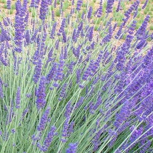 Lavendula Silver Sands - Wholesale Quantities
