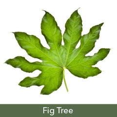 Fig Tree Soy Candles