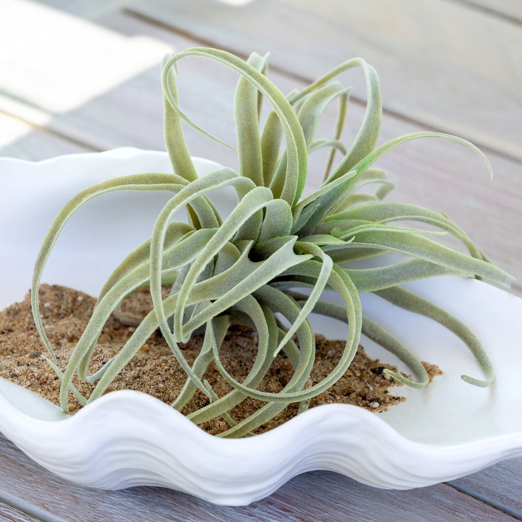 Artificial Tillandsia Air Plant Home Decor by Colonial House of Flowers