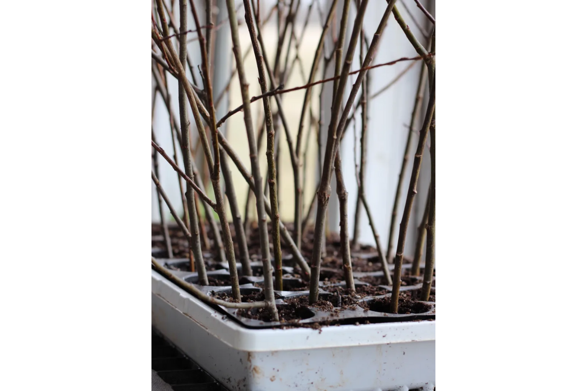 Pussywillow plantings propagation