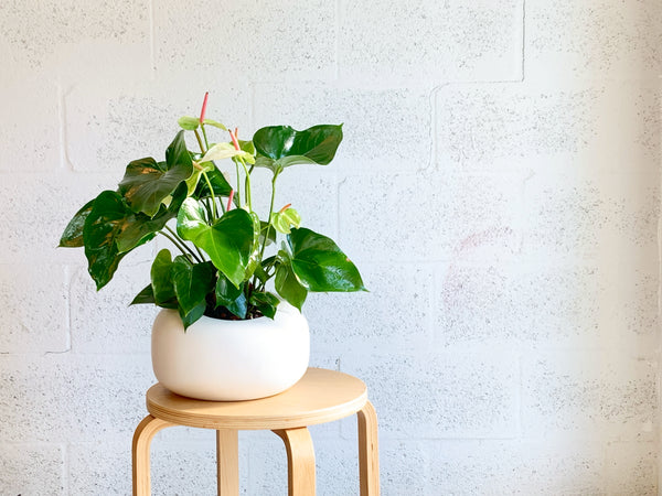 Big White Anthurium in Organic Modern by The Plantscape