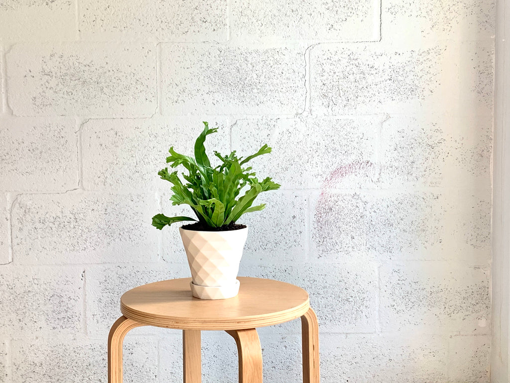 Bird's Nest Fern in Grid Porcelain Pot by The Plantscape