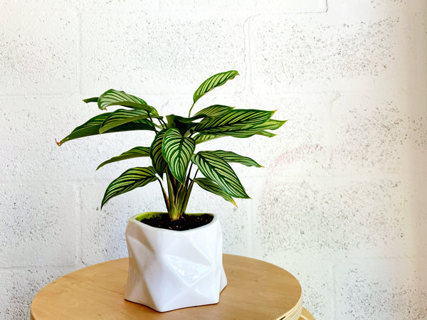 Pinstripe Calathea in Prism Planter by The Plantscape