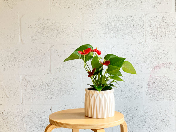 Red Anthurium in Geometric Pot by The Plantscape