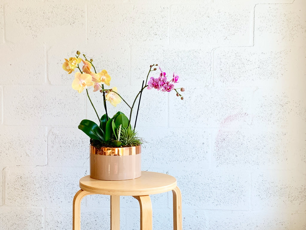 Teacup Orchid Trio in Medium Copper Rose by The Plantscape