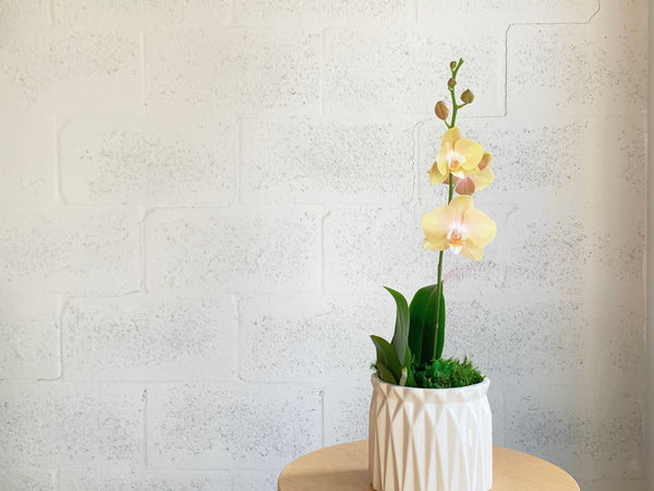 Teacup Orchid in Geometric Pot by The Plantscape