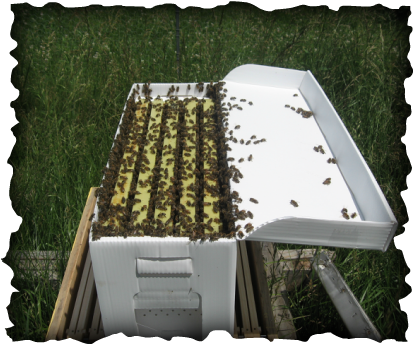 Nucs this year can be Purchased Through To Bee or Not Bee 5 Frame Honey Bee Nuc With Italian Queen