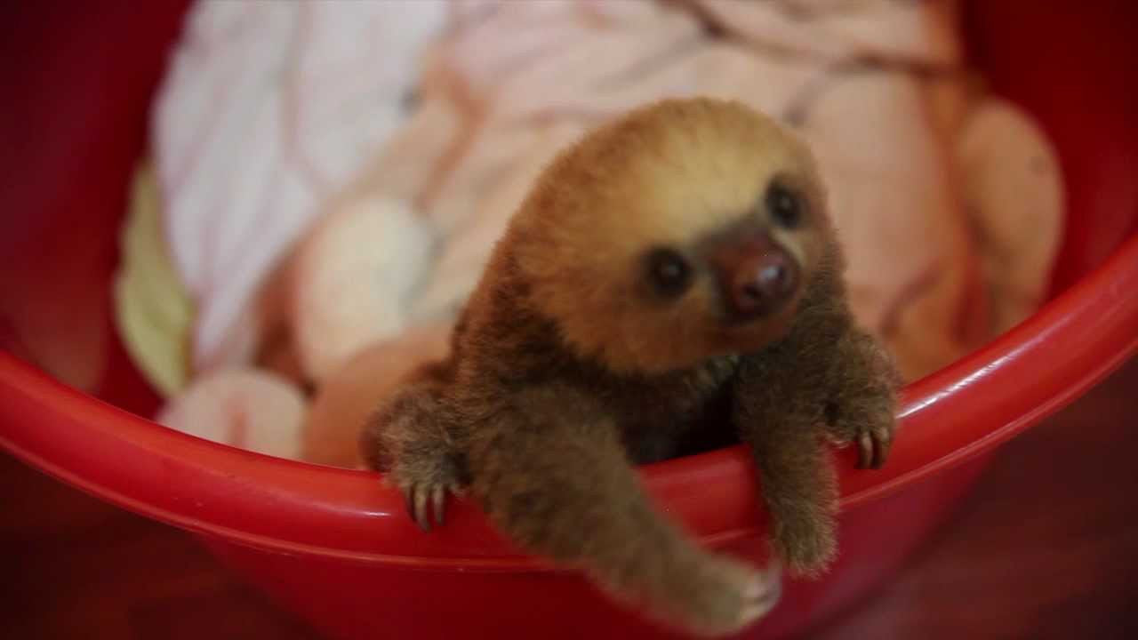 Cute Overload:  Tiny Baby Sloth!