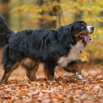 Bernese Mountain Dog Shedding