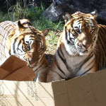 Adorable Video Of Big Cats In Boxes