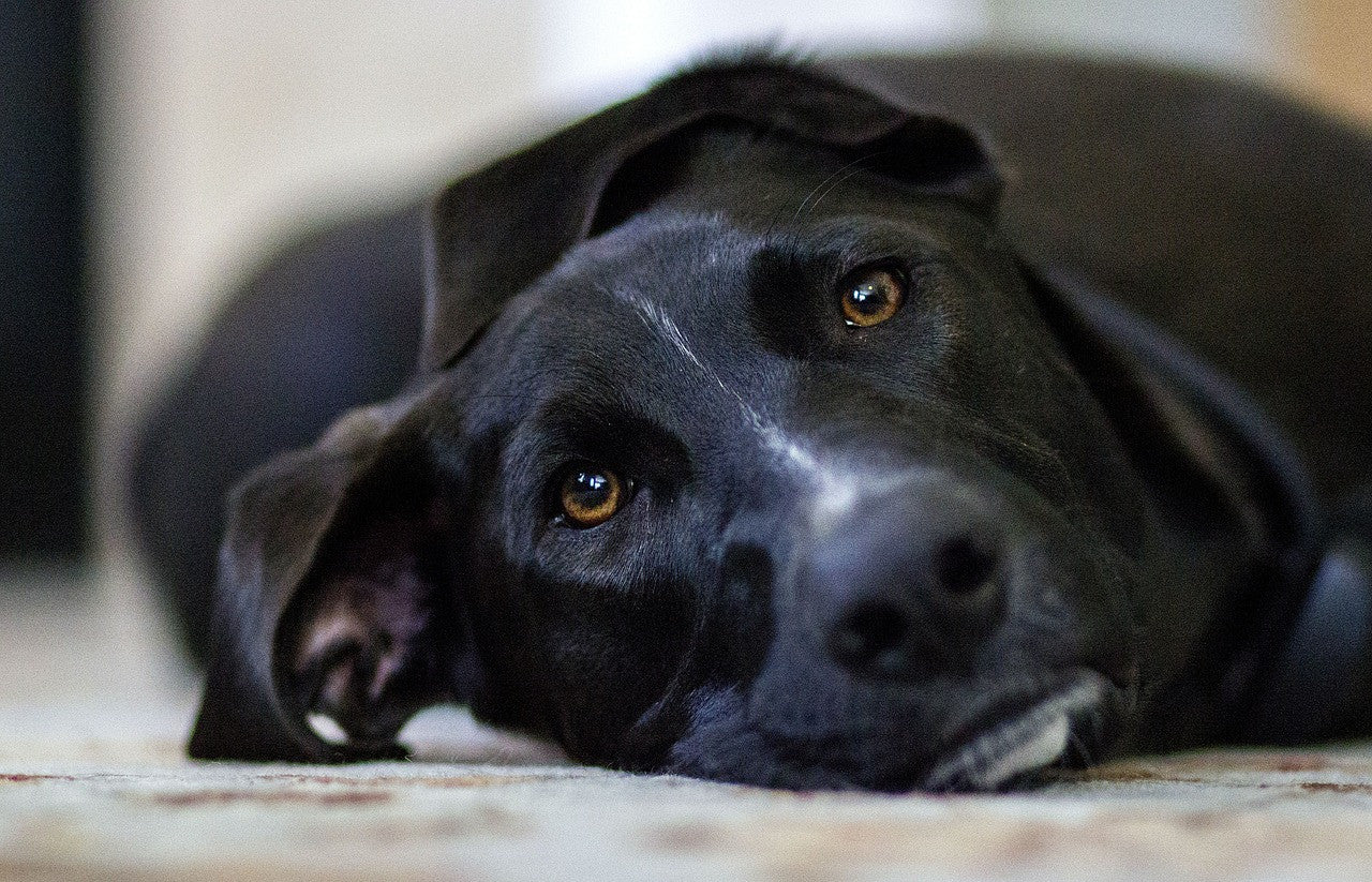 Black Dog Syndrome:  Are We Treating Black Shelter Dogs Unfairly?