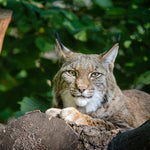 American Bobcats Trapped and Killed for Overseas Fur Trade
