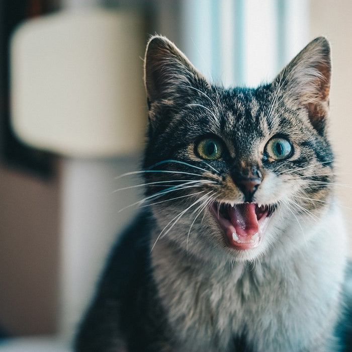 Here's Why Dental Care is Important for Your Cat