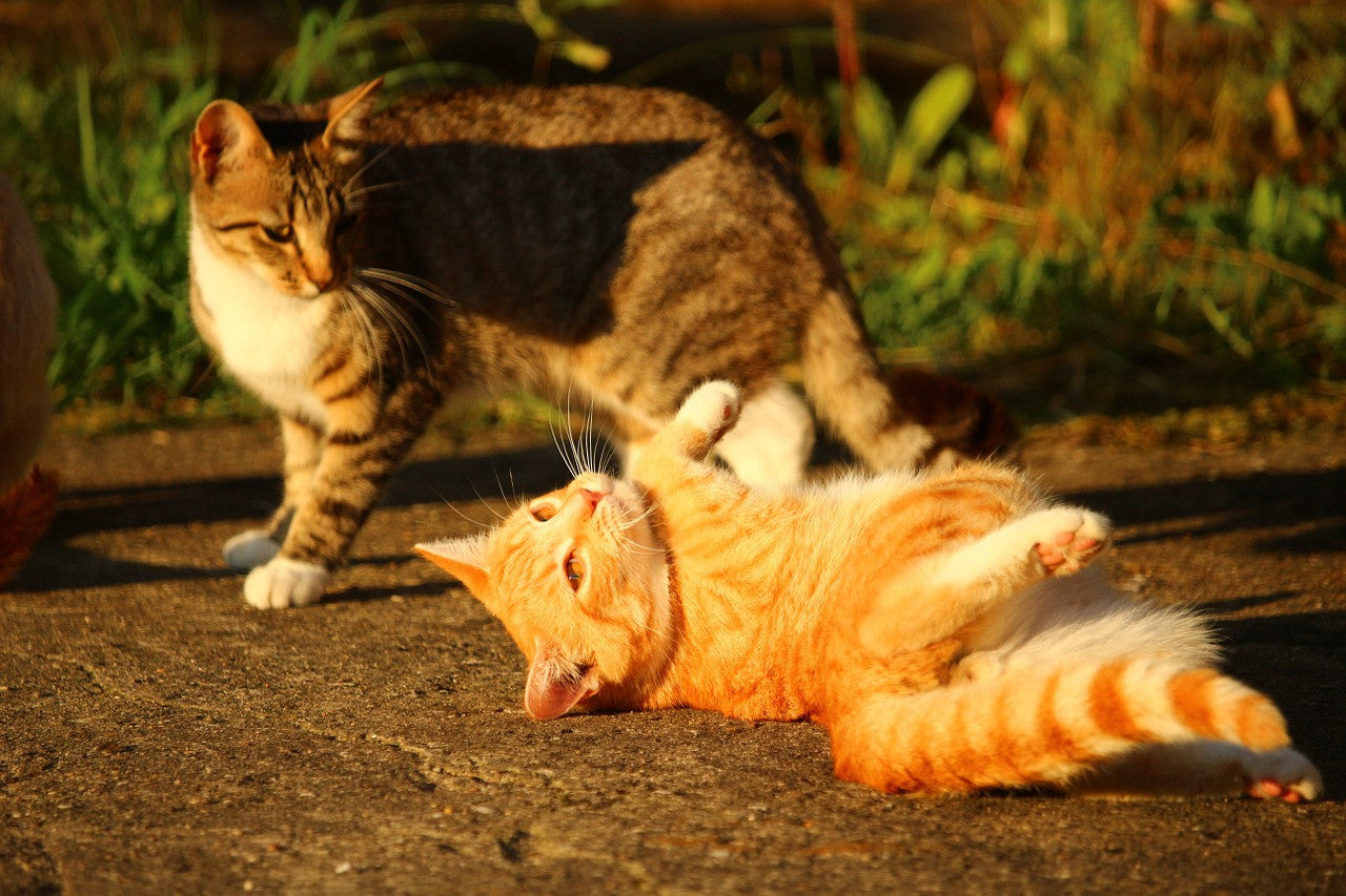 Why Can't My Cats Just Get Along?  Advice from a Cat Behaviorist