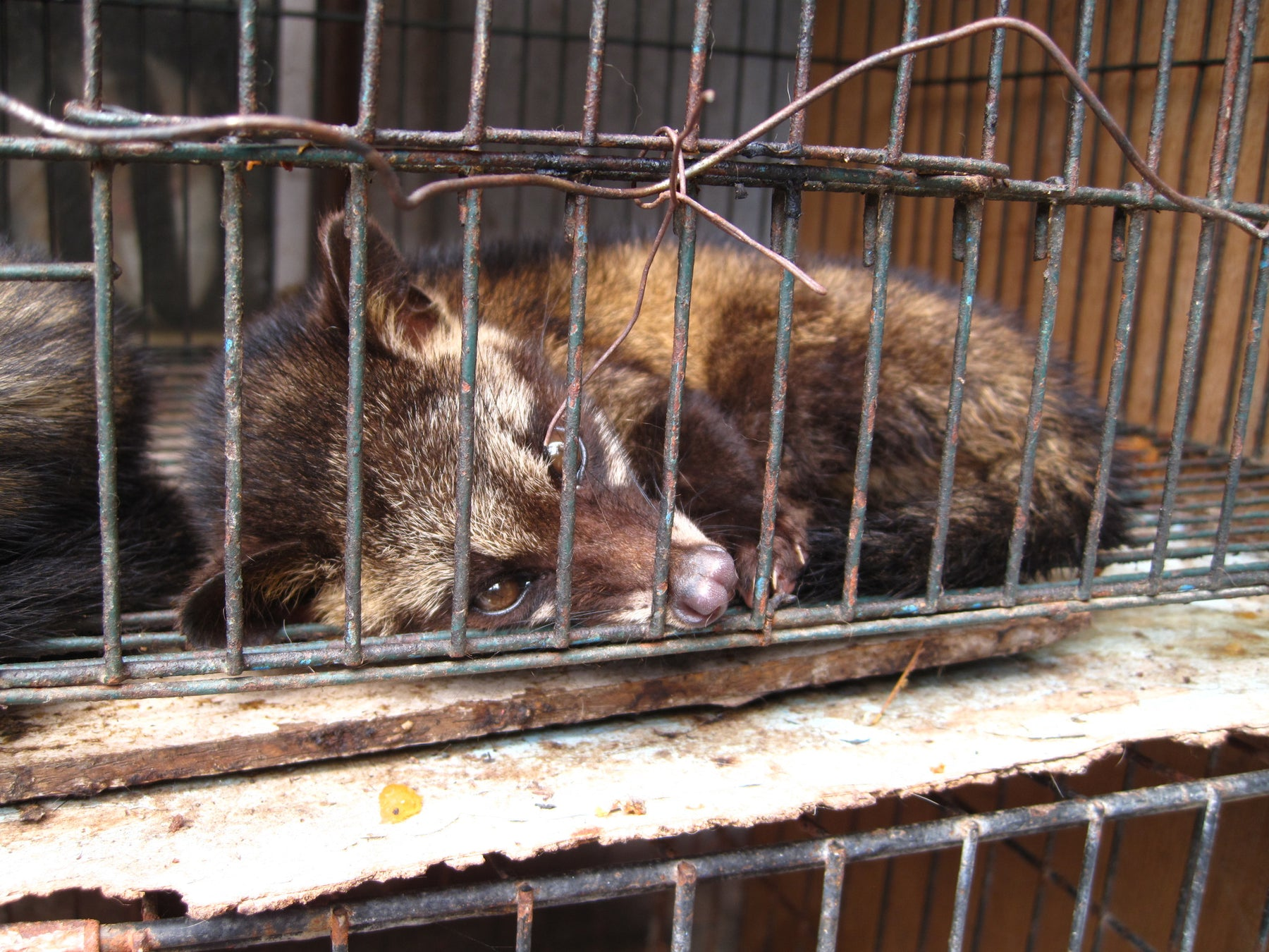 Civet Cat Abuse and the Production of Kopi Luwak, the World's Most Expensive Coffee