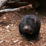 Rare Transmissible Cancer Threatens Tasmanian Devil