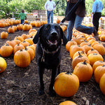 6 Easy Pumpkin Treat Recipes You Can Make for Your Dog