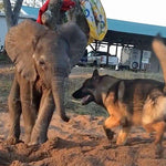 Orphaned Baby Elephant Finds Friendship with German Shepherd