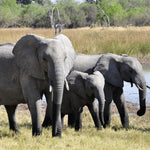 The Great Elephant Census:  Ambitious Project Counts African Elephant Population