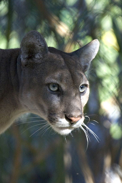 Saving the Endangered Florida Panther